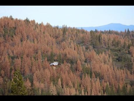 Tree Mortality Continues to Spread in California